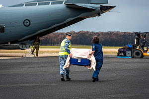 Koala (Phascolarctos cinereus) that was burnt in the Mallacoota bushfires is evacuated from the Mallacoota wildlife triage centre, carried in a crate by a RAAF crew member (left) and Forest and Wildli... - Doug Gimesy