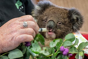 Baby Koala (Phascolarctos cinereus) named 'Micky' - one of six evacuated from the Mallacoota wildlife triage centre to Melbourne for further treatment to burns resulting from the Mallacoota bushfires...  -  Doug Gimesy