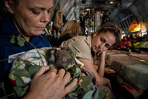 Triage coordinator and Senior Forest and Wildlife Officer Abby Smith - sitting in a Royal Australian Airforce (RAAF) C-27J Spartan - holding a young koala (Phascolarctos cinereus) that was burnt in th...  -  Doug Gimesy