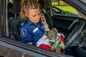 Senior Forest and Wildlife Officer Abby makes final arrangements to drive to Heaslville Sanctuary from East Sale RAAF Base, with a young rescued burn victim Koala (Phascolarctos cinereus) named 'Micky... - Doug Gimesy
