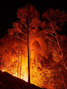 Bushfire in spotted gum (Corymbia maculata) forest on the far south coast of New South Wales, Australia. January 2020. - David Gallan