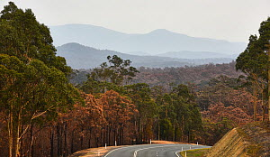 Kings Highway surrounded by burnt forest, New South Wales, Australia. The forest was damaged by the Currawan fire (later re-named the Clyde Fire after a mega fire developed) in 2014. - David Gallan