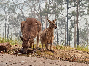 Desperately thirsty eastern grey kangaroos (Macropus giganteus) drink from a bird bath following a bushfire in Tathra, New South Wales, Australia. Water holes had dried up due to drought and food was... - David Gallan