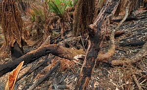Burnt temperate rainforest in Monga National Park, New South Wales, Australia. The forest was damaged by the December 2019 - January 2020 bushfires. - David Gallan