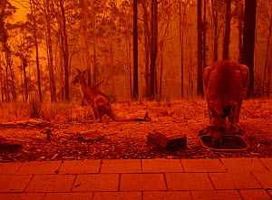Eastern grey kangaroos (Macropus giganteus) drinking from bird bath as a bushfire burns in the surrounding forest. Sky reddened by ash and smoke. Tathra, New South Wales, Australia. January 2020. - David Gallan
