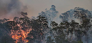Forest fire on ridge near Clyde River, New South Wales, Australia. December 2019.  -  David Gallan