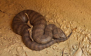 Death adder (Acanthophis antarcticus) escapes a bushfire by taking shelter in a drainage pipe under the road. New South Wales, Australia.  -  David Gallan