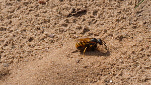 European beewolf (Philanthus triangulum) returning to nest with European honey bee (Apis mellifera) prey, digging for entrance, Suffolk, England, UK, July.  -  Dave Bevan