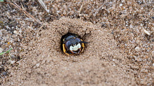European beewolf (Philanthus triangulum) coming to entrance of its burrow, watches then disapears, Suffolk, England, UK, July.  -  Dave Bevan