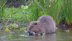 Eurasian beaver (Castor fiber) feeding on leaves, Ceredigion, Wales, UK, July.  -  Dave Bevan