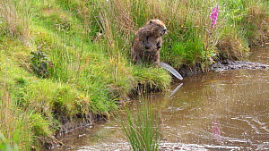 Eurasian beaver (Castor fiber) sitting on a bank, scratching and grooming, goes back into the water, Ceredigion, Wales, UK, June.  -  Dave Bevan