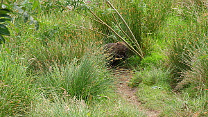 Eurasian beaver (Castor fiber) felling and dragging a Willow (Salix) sapling, Ceredigion, Wales, UK, June.  -  Dave Bevan