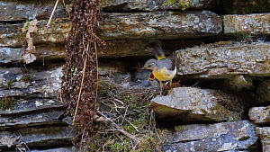 Female Grey wagtail (Motacilla cinerea) flying to nest and feeding nestlings before flying back out of frame, Carmarthenshire, Wales, UK, June.  -  Dave Bevan