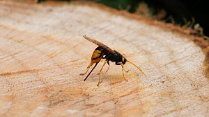 Female Giant wood wasp (Urocerus gigas) ovipositiing into the trunk of a recently felled tree, Carmarthenshire, Wales, UK, June.  -  Dave Bevan