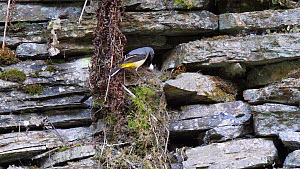 Male Grey wagtail (Motacilla cinerea) flying to nest and feeding nestlings, collects faecal sac and flies away, Carmarthenshire, Wales, UK, June.  -  Dave Bevan