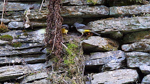Pair of Grey wagtails (Motacilla cinerea) feeding nestlings and removing faecal sacs before flying out of frame, Carmarthenshire, Wales, UK, June.  -  Dave Bevan
