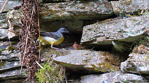 Female Grey wagtail (Motacilla cinerea) flying to nest and feeding nestlings, collects faecal sac and flies away, Carmarthenshire, Wales, UK, June.  -  Dave Bevan