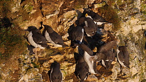 Common guillemots (Uria aalge) crowded together on nesting ledge in a breeding colony, Yorkshire, England, UK, May.  -  Dave Bevan