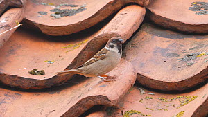 Male European tree sparrow (Passer montanus) flying into nesthole under roof tiles, Yorkshire, England, UK, May.  -  Dave Bevan