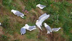 Group of Black legged kittiwakes (Rissa tridactyla) collecting grass for nest building, Yorkshire, England, UK, May.  -  Dave Bevan