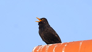 Male Blackbird (Turdus merula) perched on a roof ridge singing, Yorkshire, England, UK, May.  -  Dave Bevan