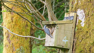 European nuthatch (Sitta europaea) entering nestbox to feed nestling before flying out of frame, Carmarthenshire, Wales, UK, May.  -  Dave Bevan