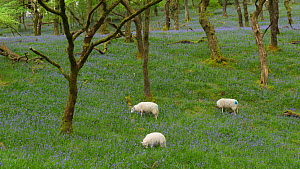 Welsh mountain sheep grazing amongst Bluebells (Hyacinthoides nonscripta), Carmarthenshire, Wales, UK, April.  -  Dave Bevan