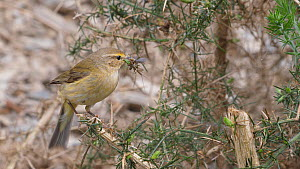 Chiffchaff (Phylloscopus collybita) perched on a gorse bush (Ulex) on way to nest, with flies in its beak, Carmarthenshire, Wales, UK, April.  -  Dave Bevan