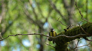 Female Great tit (Parus major) perched on a branch begging for food, Carmarthenshire, Wales, UK, April.  -  Dave Bevan