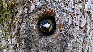 Great tit (Parus major) flying to and leaving nest hole in a tree, Carmarthenshire, Wales, UK, April.  -  Dave Bevan