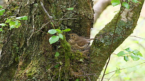 Female Song thrush (Turdus philomelos) brooding, moves to let male feed nestlings before returning to brood, Carmarthenshire, Wales, UK, April.  -  Dave Bevan