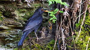 Male Blackbird (Turdus merula) flying to nest to feed nestlings, removes faecal sac and flies out of frame, Carmarthenshire, Wales, UK, April.  -  Dave Bevan