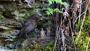 Female Blackbird (Turdus merula) flying to nest to feed nestlings, removes faecal sac and flies out of frame, Carmarthenshire, Wales, UK, April.  -  Dave Bevan