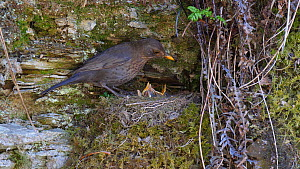 Pair of Blackbirds (Turdus merula) feeding young at nest before flying out of frame, Carmarthenshire, Wales, UK, April.  -  Dave Bevan