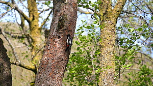 Slow motion clip of a Great spotted woodpecker (Dendrocopos major) returning to nest hole, attacked by a Nuthatch (Sitta europaea), Carmarthenshire, Wales, UK, April.  -  Dave Bevan