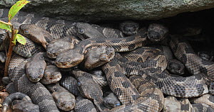 Juvenile Timber rattlesnakes (Crotalus horridus) massed together at nest site, Pennsylvania, USA. - John Cancalosi