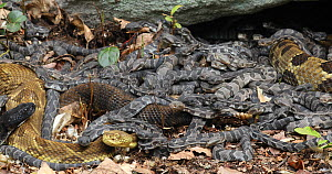 Timber rattlesnakes (Crotalus horridus) with young at nest site, Pennsylvania, USA.  -  John Cancalosi