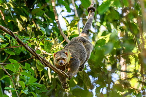 Sulawesi bear cuscus or Sulawesi bear phalanger (Ailurops ursinus) adult in forest canopy, showing use of prehensile tail. Tangkoko National Park, Sulawesi, Indonesia. - Nick Garbutt
