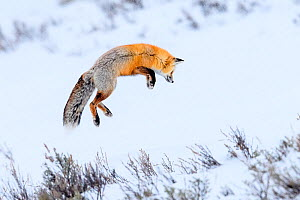 Red fox (Vulpes vulpes) adult hunting for rodents by 'snow diving' in deep snow. Hayden Valley, Yellowstone, USA. January - Nick Garbutt