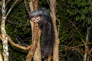 Aye-aye (Daubentonia madagascariensis) adult active and foraging in forest canopy at night. Deciduous forests, Daraina, northern Madagascar. Endangered endemic species. - Nick Garbutt