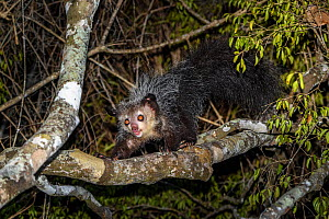 Aye-aye (Daubentonia madagascariensis) adult active and foraging in forest canopy at night. Deciduous forests, Daraina, northern Madagascar. Endangered. - Nick Garbutt