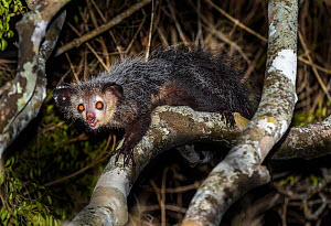 Aye-aye (Daubentonia madagascariensis) adult active and foraging in forest canopy at night. Daraina, northern Madagascar. Endangered endemic species. - Nick Garbutt