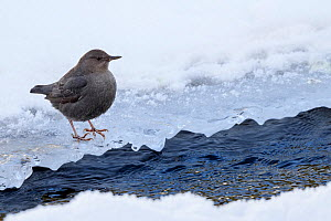 American dipper (Cinclus mexicanus) foraging on the edge of the frozen Upper Yellowstone River. Yellowstone National Park, Wyoming, USA. January.  -  Nick Garbutt