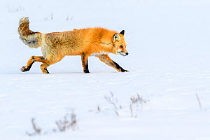 Red fox (Vulpes vulpes) walking through deep winter snow. Hayden Valley, Yellowstone, USA. January  -  Nick Garbutt