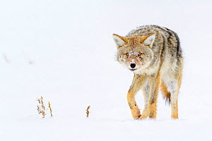 Coyote (Canis latrans) with porcupine quills lodged in its muzzle. Hayden Valley, Yellowstone National Park, Wyoming, USA. January.  -  Nick Garbutt
