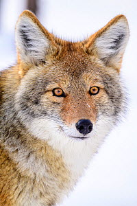 Coyote (Canis latrans) Yellowstone National Park, Wyoming, USA. January.  -  Nick Garbutt