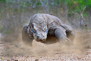 Komodo dragon (Varanus komodoensis) male running. Rinca Island, Komodo National Park, Indonesia. Endangered.  -  Nick Garbutt