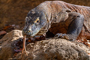 Komodo dragon (Varanus komodoensis) male tasting the air, Rinca Island, Komodo National Park, Indonesia. Endangered.  -  Nick Garbutt