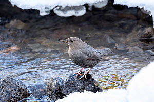 RF - American dipper (Cinclus mexicanus) foraging on the edge of the frozen Upper Yellowstone River. Yellowstone National Park, Wyoming. January. (This image may be licensed either as rights managed o...  -  Nick Garbutt