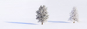RF - Lodgepole pines (Pinus contorta) covered in heavy early morning hoar frost. Yellowstone National Park, USA. January. Digitally stitched image. (This image may be licensed either as rights managed...  -  Nick Garbutt